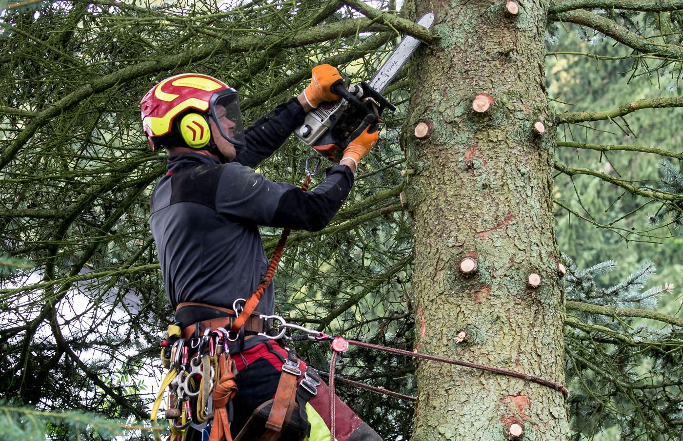 Baumfällung einer Tanne in Kelkheim